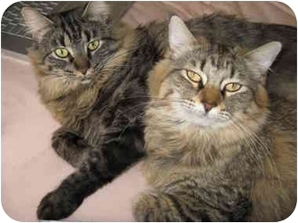 Maine Coon Cat for adoption in Mesa, Arizona - Dove