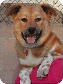Corgi/Australian Cattle Dog Mix Puppy for adoption in Rolling Hills Estates, California - Arnie