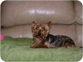 Yorkie, Yorkshire Terrier Mix Dog for adoption in Bedminster, New Jersey - Jaz