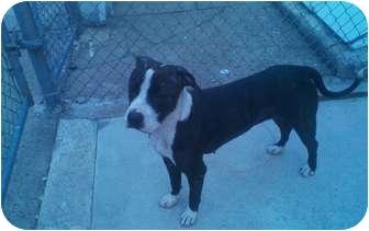 """American Pit Bull Terrier/Labrador Retriever Mix Dog for adoption in Philadelphia, Pennsylvania - Giavanna-""""Gia"""""""