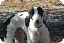 Greyhound Dog for adoption in Knoxville, Tennessee - John Candy