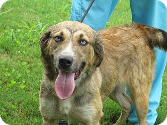 Australian Shepherd/Golden Retriever Mix Dog for adoption in Washington, D.C. - Skye