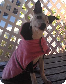 Border Collie/American Pit Bull Terrier Mix Dog for adoption in San Diego, California - Panda