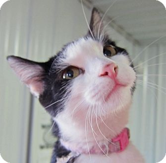 Domestic Shorthair Cat for adoption in Marseilles, Illinois - Rosa