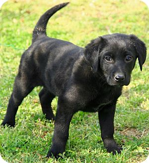 Flat-Coated Retriever Mix Puppy for adoption in Windham, New Hampshire - Alec