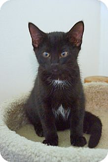 Domestic Shorthair Kitten for adoption in Victor, New York - Panther