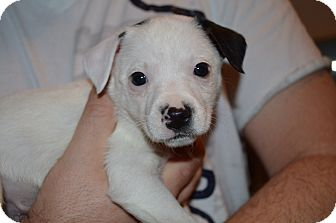 Terrier (Unknown Type, Small) Mix Puppy for adoption in Marshfield, Massachusetts - Liam-pending