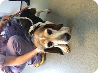 Basset Hound/Beagle Mix Dog for adoption in Livonia, Michigan - Gator