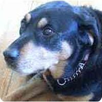 Adopt A Pet :: Belle - Surrey, BC
