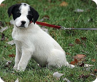 St. Bernard/Great Pyrenees Mix Puppy for adoption in Portland, Maine - Niklas