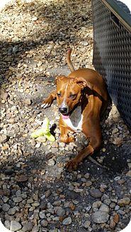 Boxer/Rhodesian Ridgeback Mix Dog for adoption in Palmetto Bay, Florida - Zena