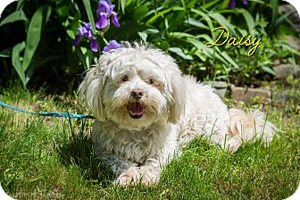 Shih Tzu/Wheaten Terrier Mix Dog for adoption in Rigaud, Quebec - Daisy