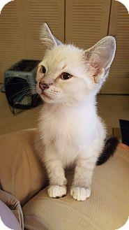 Siamese Kitten for adoption in Smyrna, Georgia - Sheba