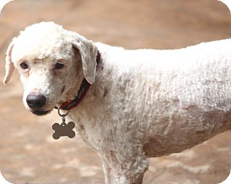Poodle (Miniature) Mix Dog for adoption in Bedminster, New Jersey - Sampson - MEET ME