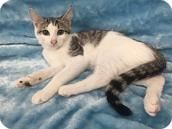 Domestic Shorthair Kitten for adoption in Highland Park, New Jersey - Coolio