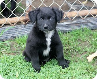 Beagle/Australian Cattle Dog Mix Puppy for adoption in Liberty Center, Ohio - Colt