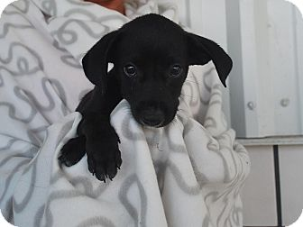 Labrador Retriever Mix Puppy for adoption in Saddle Brook, New Jersey - Scotch