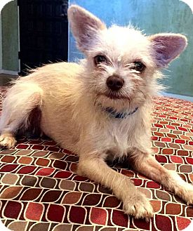 Terrier (Unknown Type, Small) Mix Dog for adoption in Tijeras, New Mexico - peanut