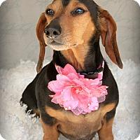 Adopt A Pet :: Alice Ann-Pending Adoption - Omaha, NE