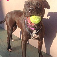 Adopt A Pet :: SHANICE - Tinton Falls, NJ