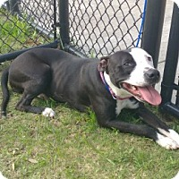 American Pit Bull Terrier Mix Dog for adoption in Alvin, Texas - Puddin