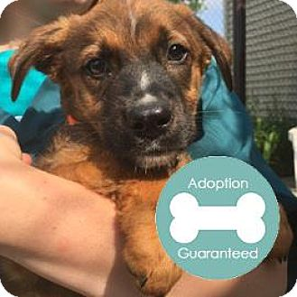 Collie Mix Puppy for adoption in Janesville, Wisconsin - Rusty