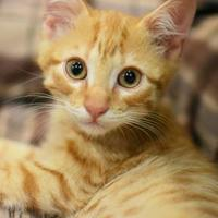 Domestic Shorthair/Domestic Shorthair Mix Cat for adoption in Aiken, South Carolina - Harley