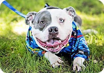 American Bulldog/English Bulldog Mix Dog for adoption in San Diego, California - Ranger