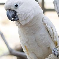 Cockatoo for adoption in Elizabeth, Colorado - Corona