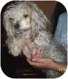 Silky Terrier/Poodle (Miniature) Mix Dog for adoption in Arlington, Virginia - Willy