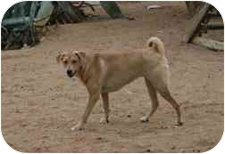 Labrador Retriever/Hound (Unknown Type) Mix Puppy for adoption in tucson, Arizona - Tina