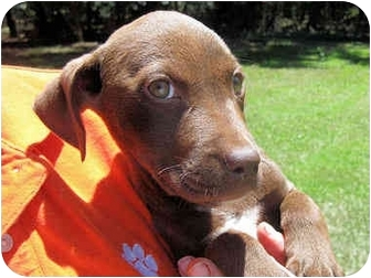 Labrador Retriever Mix Puppy for adoption in Mahwah, New Jersey - Cinnamon