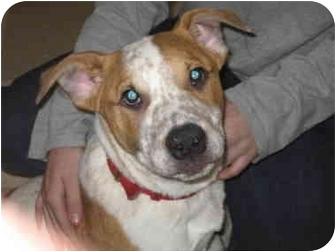 Blue Heeler/Jack Russell Terrier Mix Puppy for adoption in Libby, Montana - Spot