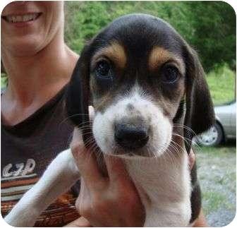 Hound (Unknown Type)/Treeing Walker Coonhound Mix Puppy for adoption in Spring Valley, New York - Tulip