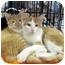 Photo 1 - Domestic Mediumhair Kitten for adoption in Overland Park, Kansas - Sunkist