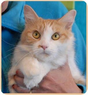 Domestic Mediumhair Cat for adoption in Las Vegas, Nevada - Sandy
