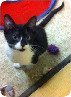 Domestic Shorthair Kitten for adoption in Houston, Texas - Petey