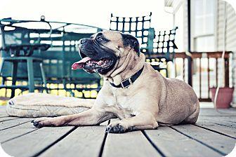 Bullmastiff Dog for adoption in Howell, Michigan - CoCo