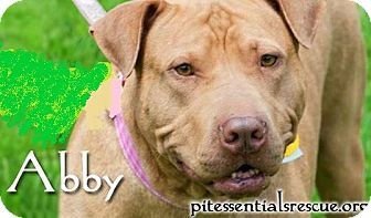 American Pit Bull Terrier Mix Dog for adoption in Norman, Oklahoma - Abby