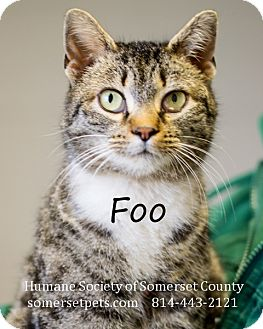 Domestic Shorthair Cat for adoption in Somerset, Pennsylvania - Foo