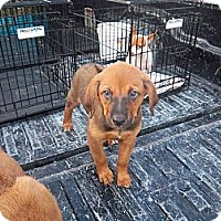Adopt A Pet :: Abey - Windsor, MO