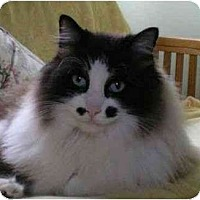 Adopt A Pet :: Charley Chaplin - Portland, OR