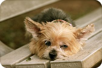 Yorkie, Yorkshire Terrier Dog for adoption in Albany, New York - Gracie