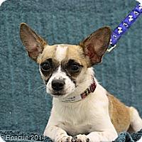 Adopt A Pet :: Monique - Broomfield, CO