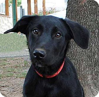 Labrador Retriever/Collie Mix Dog for adoption in Weatherford, Texas - Maisey