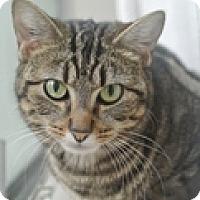 Adopt A Pet :: Koshka - Vancouver, BC