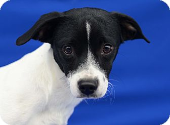 Terrier (Unknown Type, Small) Mix Dog for adoption in LAFAYETTE, Louisiana - SAMSON
