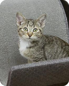 Domestic Shorthair Kitten for adoption in Benbrook, Texas - Mary Jane