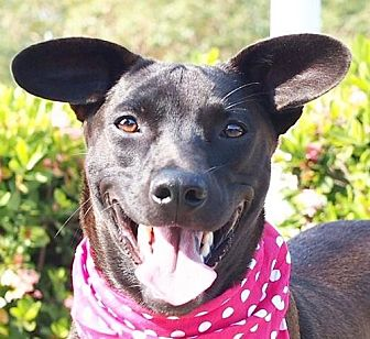 Terrier (Unknown Type, Medium)/Bernese Mountain Dog Mix Dog for adoption in San Francisco, California - MeiBoa