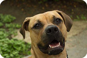 Boxer Mix Dog for adoption in Houston, Texas - Esme